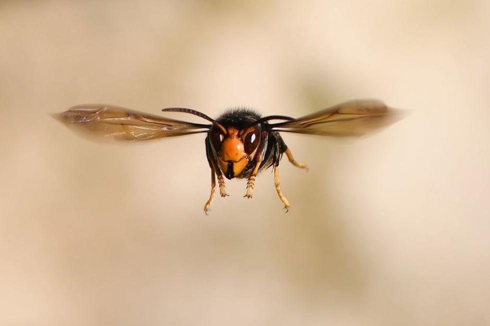 Las avispas asesinas son uno de los insectos gigantes, agresivos y pueden eliminar colonias entre abejas decapitando a las obreras. (Foto: AFP)