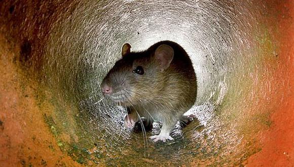 Nueva York probará una nueva alternativa para esterilizar ratas