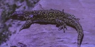 Bolivia: Hallan en una nueva especie de lagartija