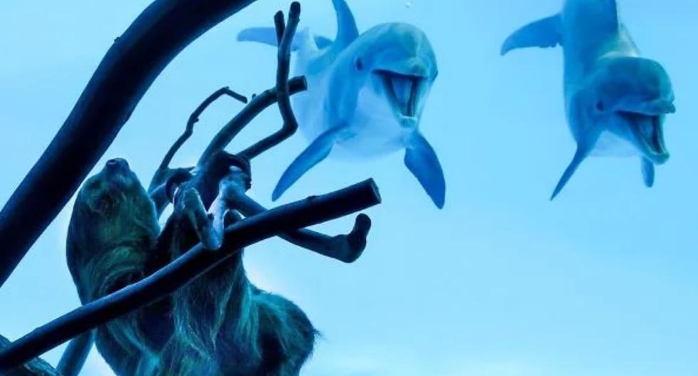Un perezoso recorrió las instalaciones de un acuario y conoció a diversos animales marinos, como unos delfines que quedaron muy asombrados al verlo. (Fotos: Texas State Aquarium en Facebook)