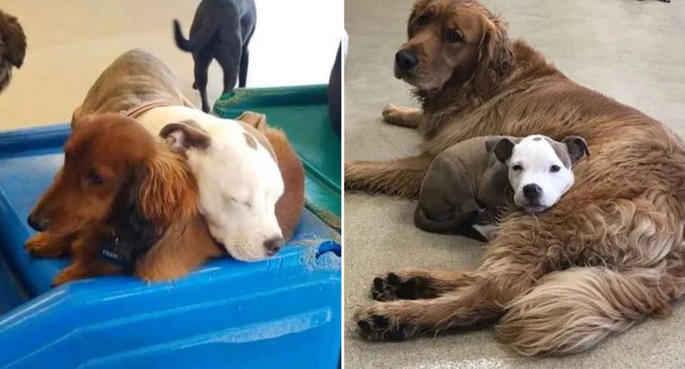 Una cachorrita causó sensación en las redes sociales por escoger siempre los perros más cómodos para descansar. (Foto: brigottfried en Instagram)