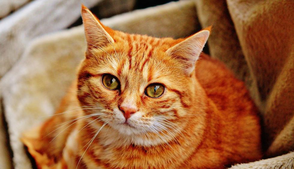 Todos necesitamos un poco de atención y este gato sabe perfectamente cómo conseguirlo. (Foto: Pixabay)
