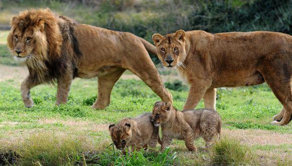 Historias: Estados Unidos: leona mata al padre de sus crías en un ...