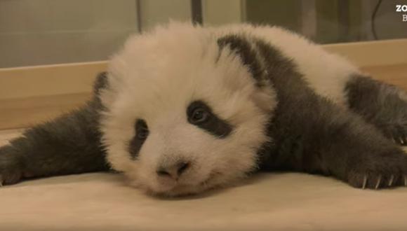 Bebé oso panda no puede dormir debido a un ataque de hipo por las noches. (Foto: Captura Youtube)