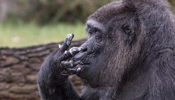OMS104. BERLIN (ALEMANIA), 13/04/2018.- La gorila Fatou se chupa los dedos tras dar buena cuenta de la tarta de su 61 cumpleaÒos en el Zoo de BerlÌn (Alemania) hoy 13 de abril de 2018. Fatou llegÛ al zoo a los dos aÒos de edad y est· considerada como el gorila m·s viejo del continente. EFE/ Omer Messinger