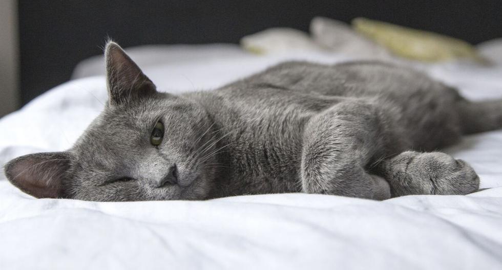 Pese a la maratónica jornada que vivió, el felino recuperó sus fuerzas y se encuentra en condición estable. (Foto: Pexels/Referencial)