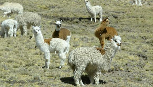 Volcán Ubinas: trasladarán llamas y alpacas de la zona