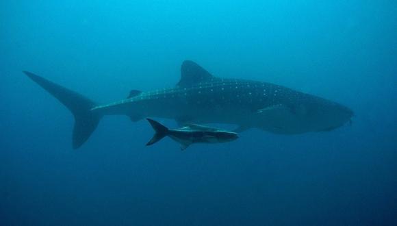 Nace una cría de tiburón dentro de un tanque donde solo viven hembras. (Foto: Referencial / Pixabay)