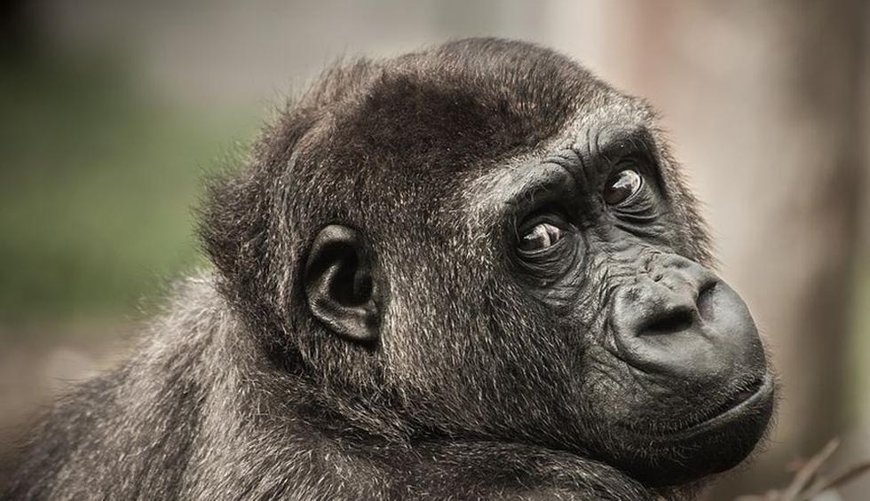 El mono demostró que le gusta recibir mucho cariño de su dueño. (Pixabay / Derks24)