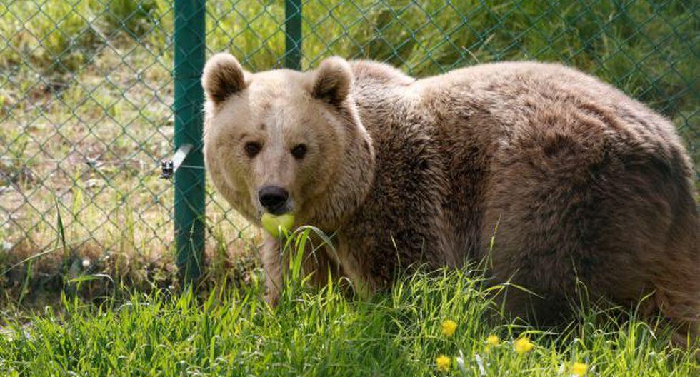 Los osos se comunican por medio del olor de sus pies