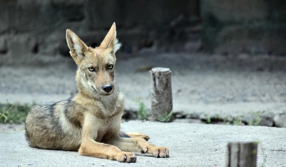 Se viralizó en Facebook la historia de Eli Boroditsky, un hombre de Canadá que creyó recoger a un perro sin saber que era en realidad un coyote. (Foto: Referencial/Pixabay)