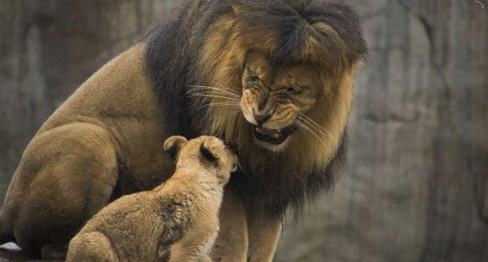 Dinamarca: Zoológico sacrifica a cuatro leones