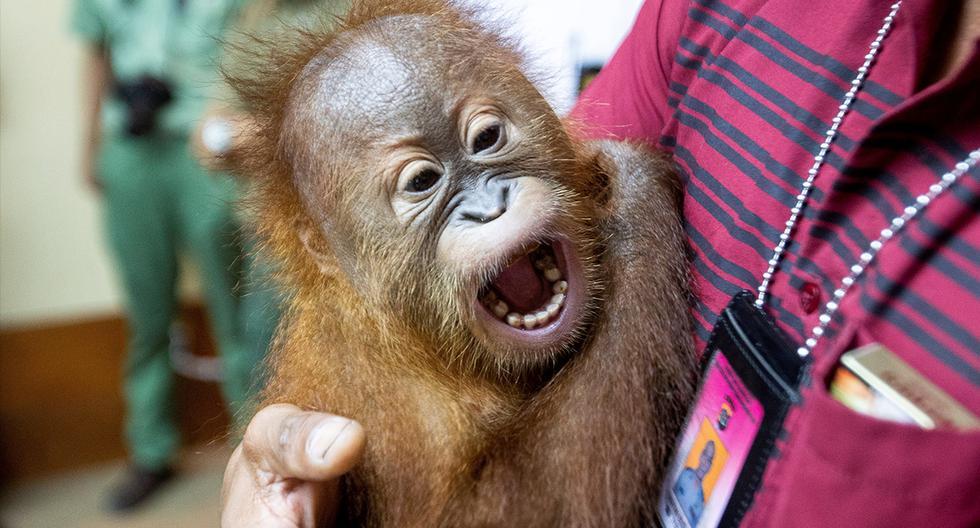 Las autoridades en Indonesia arrestaron a un turista ruso que intentó sacar de contrabando un orangután en la isla turística de Bali. (EFE)