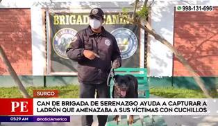 Surco: rottweiler de Brigada Canina amedrentó a delincuente intervenido en mercado Jorge Chávez