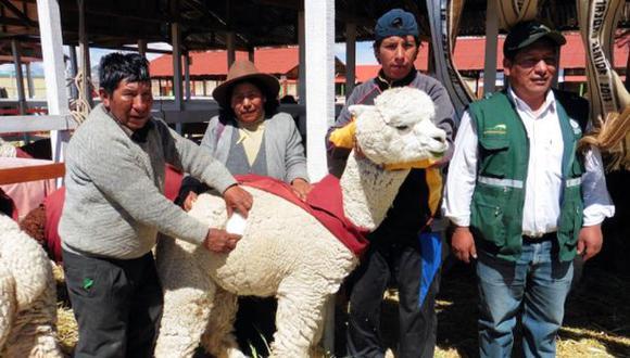 Los animales realizaron un desfile en  plaza de Armas de Macusani, distrito de la provincia de Carabaya