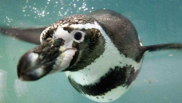 El archipiélago chileno es hogar del 80% de los ejemplares de pingüinos de Humboldt, una especie en peligro de extinción. (Foto: Getty)