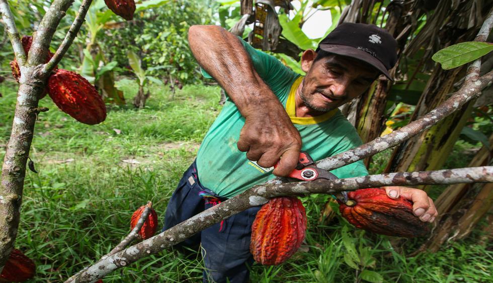 El año pasado se obtuvieron 108 mil toneladas de cacao.  (Foto: Shutterstock).