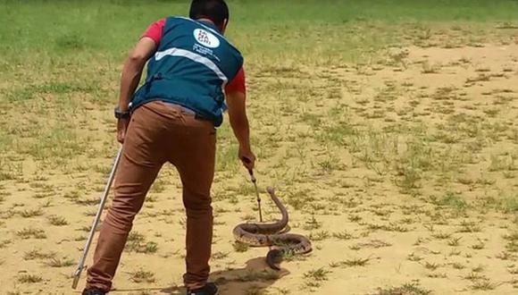 Junín: encuentran serpiente venenosa de 2 metros en una chacra