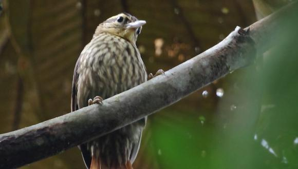 El ticotico de cejas claras (Cichlocolaptes leucophrus) es una especie de ave paseriforme que habita en el sureste de Brasil. Puede verse afectada por los cambios que hará el hombre en su hábitat. (Foto: Wikimedia Commons)
