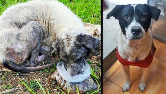 En mayo de este año, Elssy Valverde rescató a Aquiles del más triste abandono en una calle de Comas. Hoy este perro se está recuperando y vive feliz y tranquilo en familia.