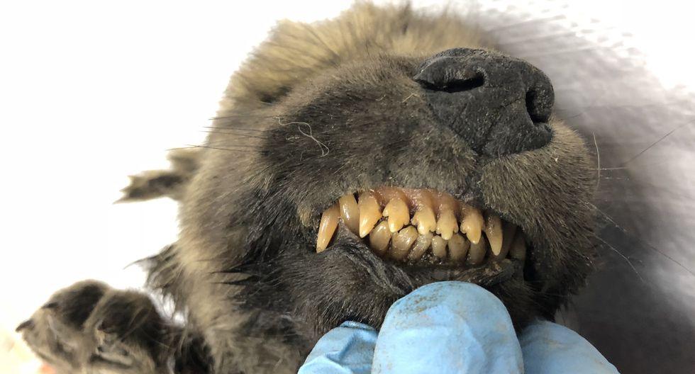 Los científicos llamaron Dogor al cachorro. (Foto: Centre for Palaeogenetics)