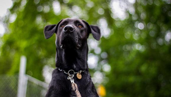 La sensibilidad de los perros puede servir para detectar el COVID-19. (Pixabay)