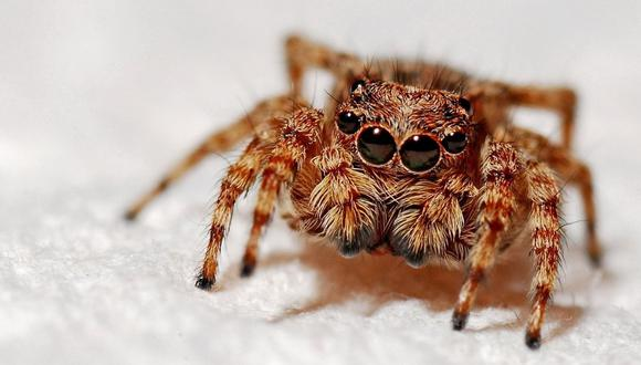 Son millones las personas en el mundo que sienten un miedo incontrolable hacia las arañas. A ese problema se le conoce como aracnofobia.  (Foto referencial - Pexels)