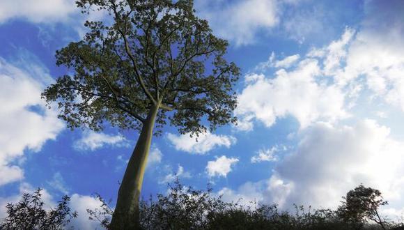 Un árbol patrimonial requiere mayores cuidados.(Foto: Servicio Nacional Forestal y de Fauna Silvestre)