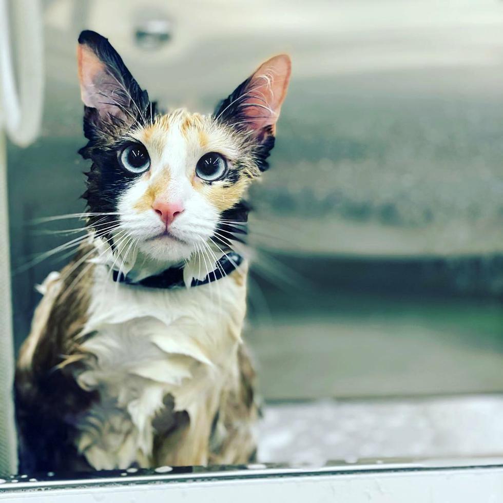 """Pese a la creencia popular, los <a href=""""https://mag.elcomercio.pe/noticias/gatos/""""><font color=""""blue"""">gatos</font></a>  también se pueden bañar, aunque no tan seguido como ocurre con los perros. Si tu gato cuenta con buenas condiciones de salud, es probable que no necesite de un baño. (Foto: l.j.grooming - Instagram)"""