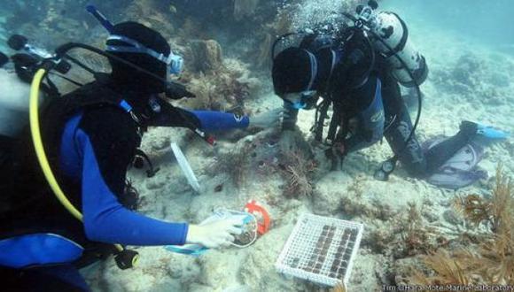 Nueva técnica promete salvar arrecifes de coral