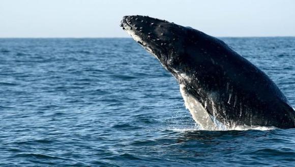Detectan número récord de ballenas jorobadas en Australia