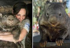 'Patrick', el wombat más viejo del mundo