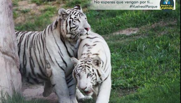 'Onur' y 'Keren': los tigres blancos del Parque de Las Leyendas