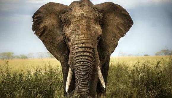 La trompa de los elefantes cumple muchas funciones. (Foto: Getty)
