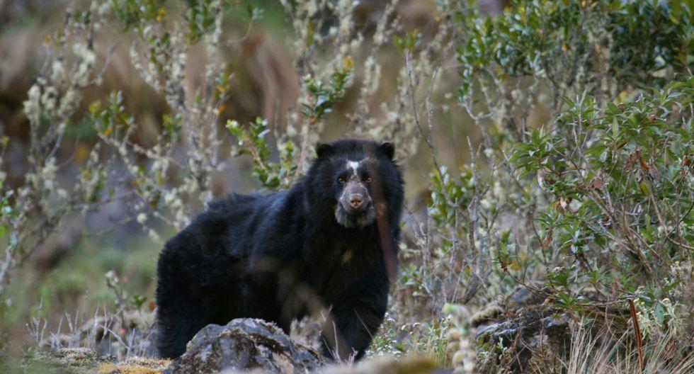 En Bolivia y Perú se encuentra el 70% de la población de osos de anteojos.  Foto: Robert Wallace / WCS Bolivia