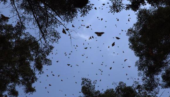Desaparecen mariposas en isla del canal de Panamá