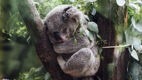 Muchos ambientalistas se encuentran consternados por la posibilidad de que cientos de koalas hayan perecido violentamente. (Foto: Referencial - Pixabay)