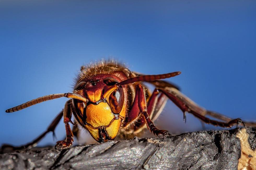 La avispa asesina es mucho más grande que la avispa autóctona y destaca por ser de color marrón en vez de amarillo y negro (Foto: Pixabay)