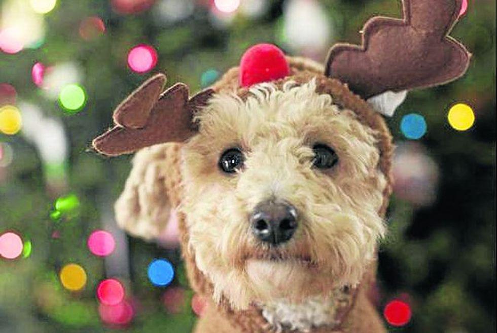 A muchos animales no les gusta que les pongan encima adornos navideños.