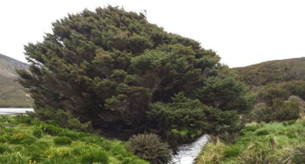 Este ejemplar de pícea de Sitka no tiene a ningún otro árbol en 200 kilómetros a la redonda. (Foto: Pavla Fenwick)