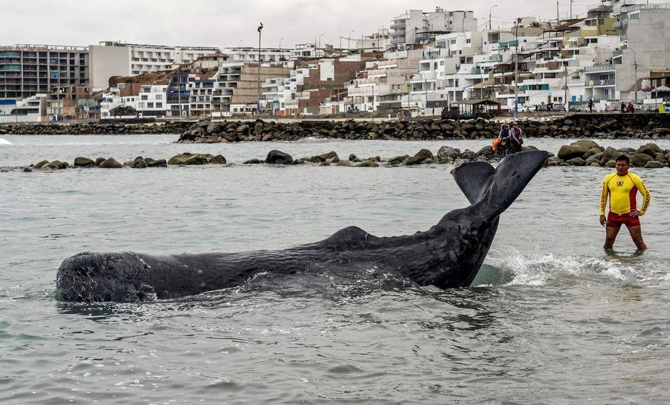 Ballena quedó varada en la playa San Bartolo. Durante varias horas intentaron socorrer al cetáceo. (Foto: AFP)