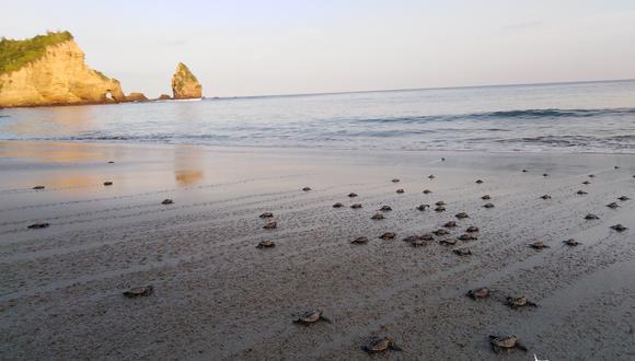 Decenas de tortugas recién nacidas van camino al mar en el parque nacional Machalilla. Foto: Felipe Vallejo – Equilibrio Azul.