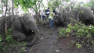 India: encuentran 18 elefantes muertos probablemente a causa de un rayo