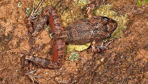 Hallan una nueva especie de rana y estudian subastar su nombre