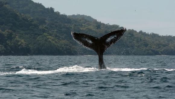 Las ballenas, los delfines y las marsopas presentan comportamientos culturales similares a los humanos. (Foto: AFP)