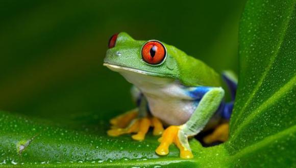 Las ranas Xenopus fueron utilizadas durante décadas para realizar pruebas de embarazo. (Getty Image)