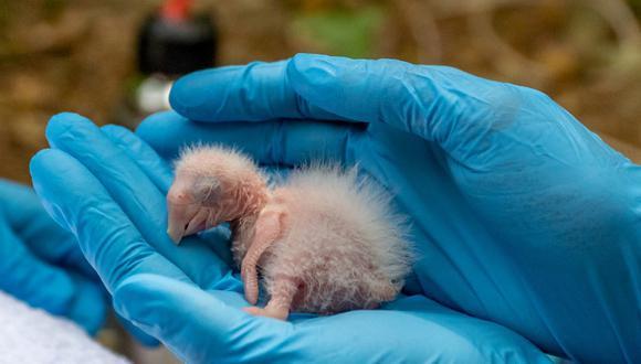 Uno de los polluelos recién nacidos en el Parque Nacional Iberá. Foto: Matías Rebak – Tompkins Conservation.