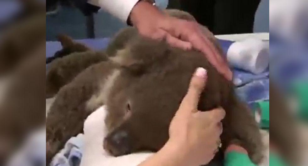 Facebook viral   Australia: conoce el inspirador hospital de koalas creado por voluntarios