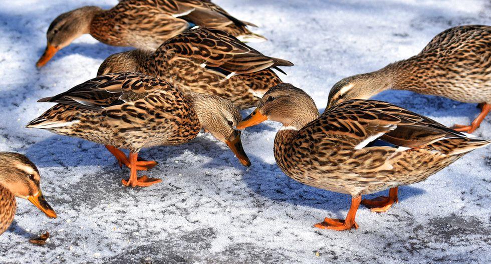 La curiosa reacción de unos patos al sentir la nieve cautiva a miles de internautas de YouTube. (Foto: Pixabay / referencial)