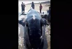 Tumbes: continúan labores para devolver al mar a ballena jorobada que quedó varada